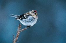 Common Redpoll Finch