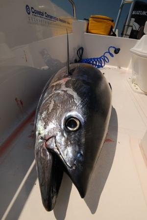 Tuna caught in Maine waters
